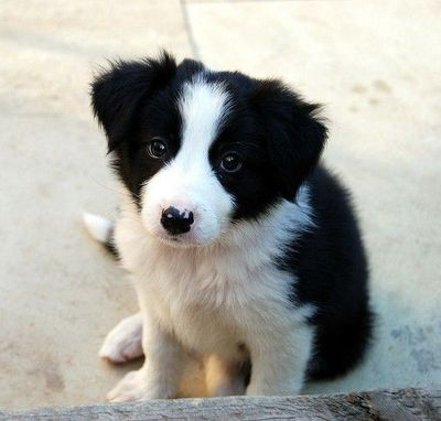 Sweet baby border collie. / all - 21.8KB