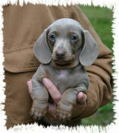 blue dachshund puppies Quotes