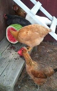 Beating the Heat. Several easy to implement ideas for keeping chickens cool during high temperatures.