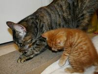#cats Mama Delilah teaching Oscar how to use the scratcher