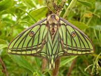 SPANISH MOON MOTH Graellsia isabellae ©TPittaway The moth is native to Spain and France. At the end of April and beginning of May the moth begins to hatch after overwintering in the cocoon. Normally moths from the same line don't copulate, so it is...