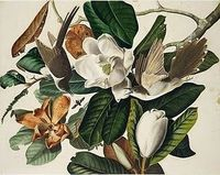 "John James Audubon. ""Black-Billed Cuckoo"""