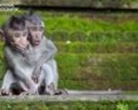 Two juvenile macaques look on in surprise as their mother chases away an assailant who was attempting to steal their babies' food. The shot was taken at the Sacred Monkey Sanctuary, Ubud, Bali, Indonesia. (Photo Courtesy Chris Norfolk/National Geo...