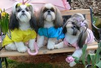 Shih Tzu Vogue, anyone?