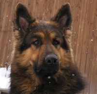 Red German Shepherd. Love the yellow, too, but reds are even more stunning.