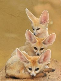 Tower of fennecs