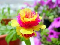 Perfect moss rose.