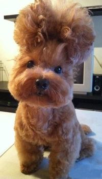 Afro pup