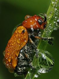Beetle and dew