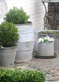 Galvanized planters with boxwoods.