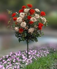 Take a look at this Red & White Rose Tree by Cottage Farms Direct on #zulily today!