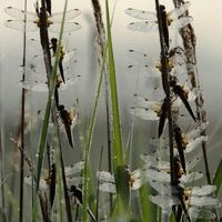 © Lynne Newton, Dragonflies and dew