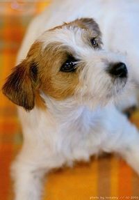 Knitting Pattern For Jack Russell Dog :   CROCHET JACK RUSSELL PATTERN