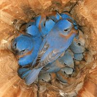 ~ Bluebirds Roosting At Night ~