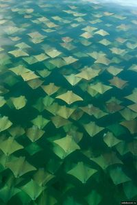 Golden Ray Migration by Sandra Critelli: The Gulf of Mexico population of Golden Rays, in schools of as many as 10,000 migrate biannually between western Florida and the Yucatan, turning vast areas of blue water to gold. Measuring up to 7ft (2.1 metre...